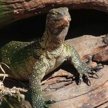 Nile Monitor Lizard, Selous, Tanzania