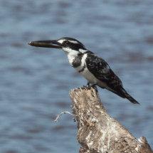 Pied Kingfisher (Male), Ruha, Tanzania