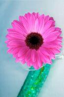 Pink Gerbera plus green tube
