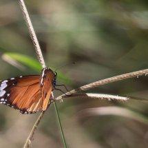 Pretty-lady butterfly-, Rouha, Tanzania