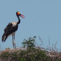 Saddle-billed stork (female