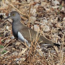 Tanzanian Bird 7