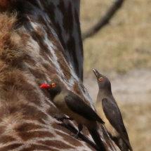 Tanzanian Bird 8