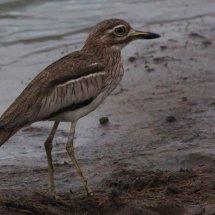 Tanzanian Bird 9