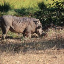 Warthog, Rouha, Tanzania