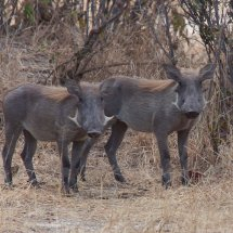 Warthogs, Rouha, Tanzania