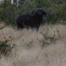 Water Buffalo, Ruha, Tanzania
