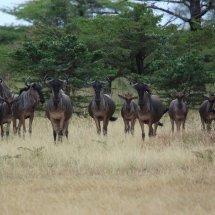 Wildebeast, Selous, Tanzania-2