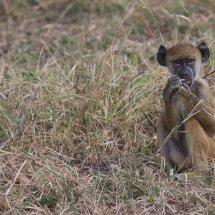 Young Baboon, Selous, Tanzania