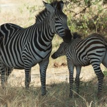 Zebra and foal, Rouha, Tanzanania