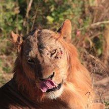 lion, Rouha, Tanzania