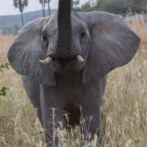 warning from young bull elephant,Rouha