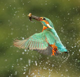 Kingfisher Images