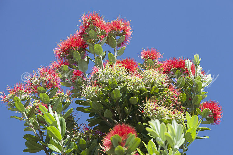Pohutukawa, New Zealand Christmas Tree