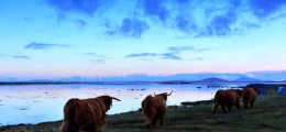 Highland cattle heading home.