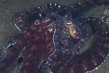 Mating mimic octopus !