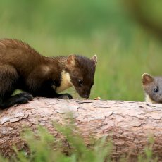 PINEMARTEN & KITS