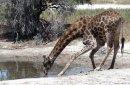 A Giraffe 3