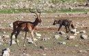 Impala & Hyena