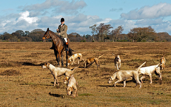 Huntsman and New Forest Hounds
