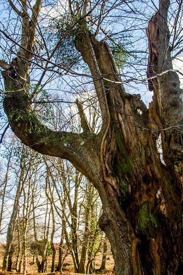 Mistletoe & Oak