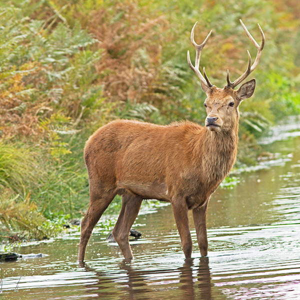 Red Stag Wading