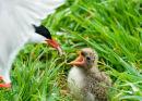 Farne Island Tern