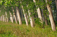 Poplar trees in line