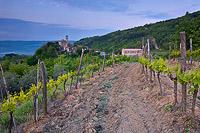 Wineyard in Zavrsje, Istria, Croatia