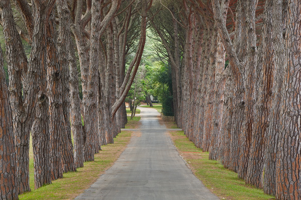 Pine alley, National Park Brijuni, Istria, Croatia