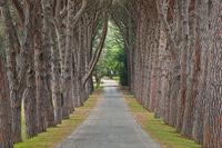 Pine alley, National Park Brijuni, Istria, Croatia