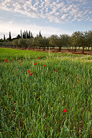 Spring and the poppies, fields near Bale, Istria, Croatia