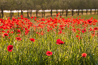 Poppies in the crops
