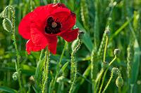 Poppy in the crops