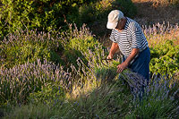 Old man harvesting Lavender