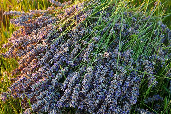 Cutten lavender from island Hvar