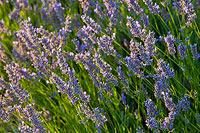 Lavender on island Hvar