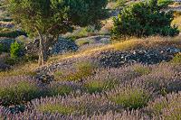 Lavender fields on island Hvar