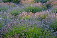 Lavender layers on island Hvar