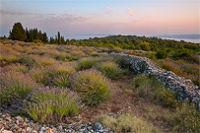 Lavender fields in village Brusje, Island Hvar, Dalmatia, Croatia