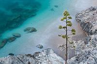 Agava tree above the sea