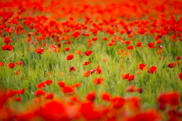 Tuscan poppy fields, Italy