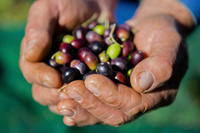 Olive fruits after the harvest in Istria, Croatia