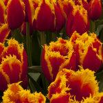 Eden fringed Tulips
