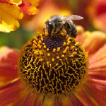 Bee on Helenium Biedermier
