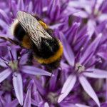 Bee on Alium
