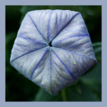 Blue Parcel seed head