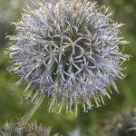 Blue seed head
