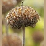 Crown seed head