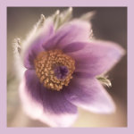 Desaturated Lilac Pulsatilla